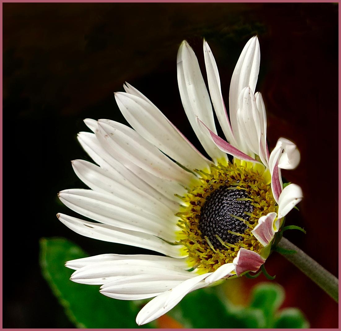 Bloem 3 - Nog maar een bloemetje uit Artis. Ik begin zo langzamerhand wel ontwenningsverschijnselen te krijgen. gr. Nel - foto door Nel Hoetmer op 16-07-2014 - deze foto bevat: macro, bloem, artis, nel
