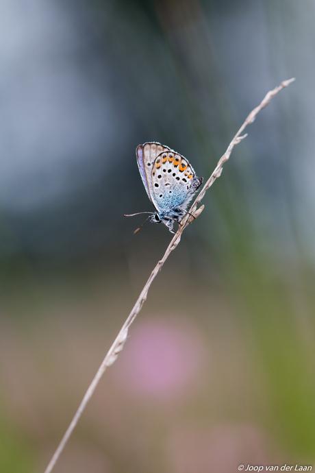 Heideblauwtje Zoomdag Heino