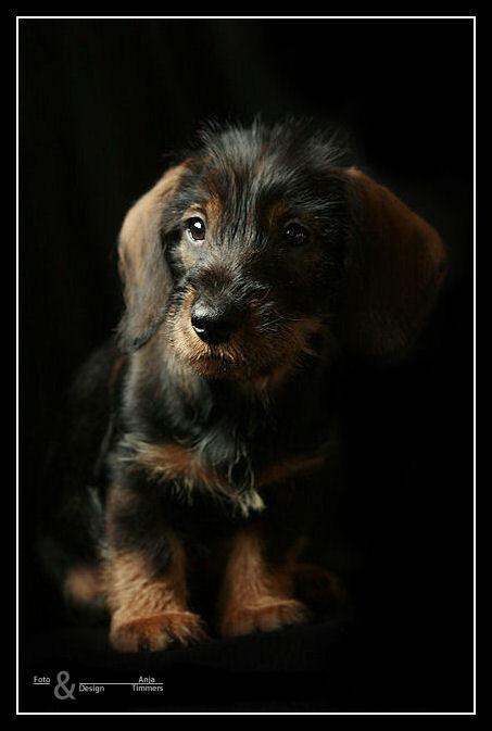 Pupje - Mijn teckelpupje Quincy - foto door AnjaT op 20-01-2011 - deze foto bevat: hond, beginneling