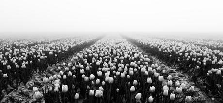 Zwart witte tulpen