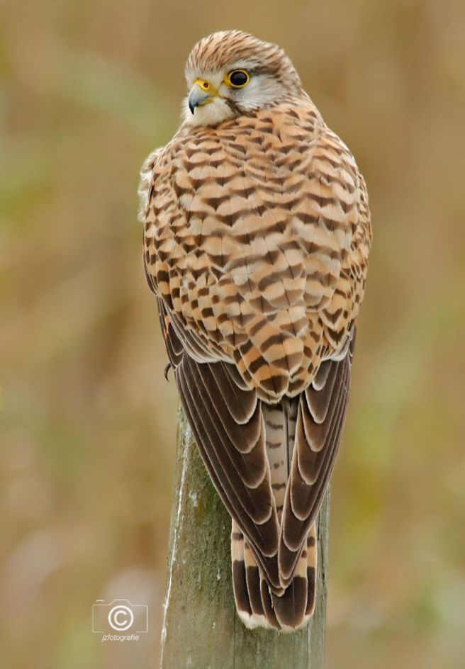 Torenvalk - Ook deze opname van het torenvalkje is ook gemaakt tijdens een ritje door de Houtrakpolder in Noord- Holland,  Het wachten werd beloond en de auto d - foto door jzfotografie op 02-07-2020 - deze foto bevat: wachten, kleuren, natuur, bruin, geel, dieren, vogel, landschap, auto, oog, roofvogel, torenvalk, nederland, grijs, prooi, paaltje, sony, spaarnwoude, dof, schuilhut, verenkleed, n-h, houtrakpolder