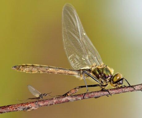 smaragdlibel, met steekvliegje?