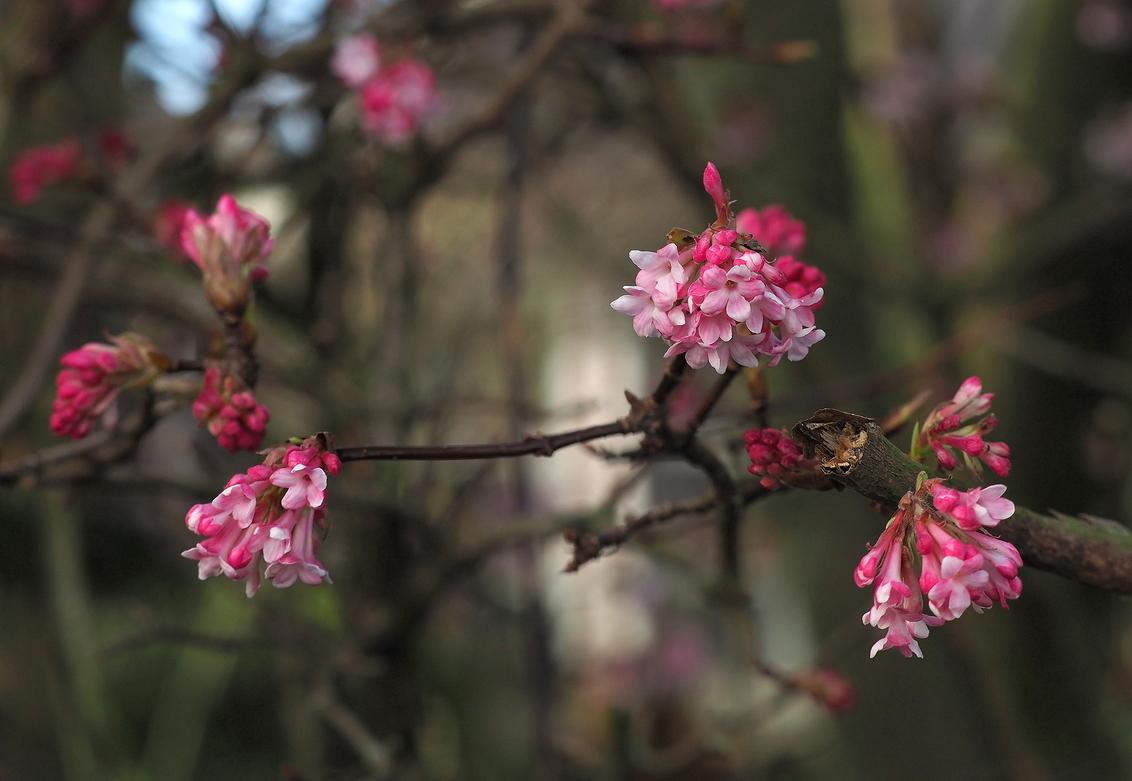 Kom Maar..... - Met je mooie kleurtjes...we zijn er weer aan toe. - foto door pietsnoeier op 27-02-2017 - deze foto bevat: roze, kleur, bloem, natuur, tuin, voorjaar