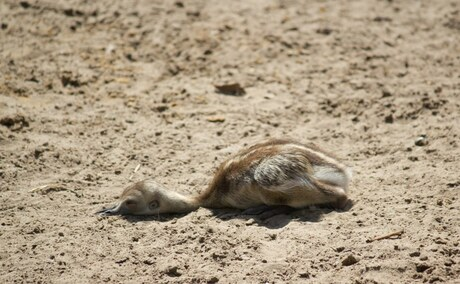 Baby struisvogel