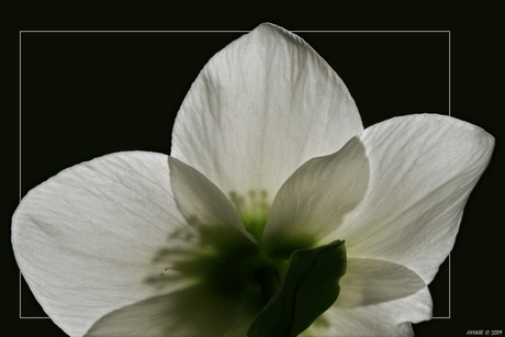Helleborus, de achterkant