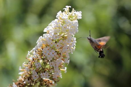 Kolibrievlinder in onze tuin