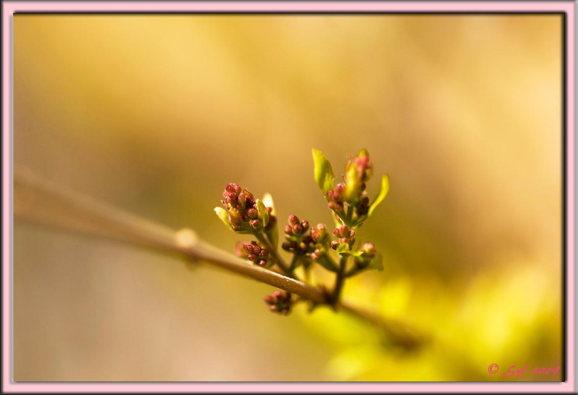 Ontluikend II - En ook deze knoppen barsten bijna letterlijk uit hun jasje... - foto door Syl_zoom op 22-03-2009 - deze foto bevat: roze, bloem, knop, voorjaar, syl