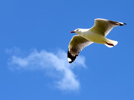 zeemeeuw - in nieuw-zeeland - foto door boukjev op 23-12-2011 - deze foto bevat: meeuw, zeemeeuw