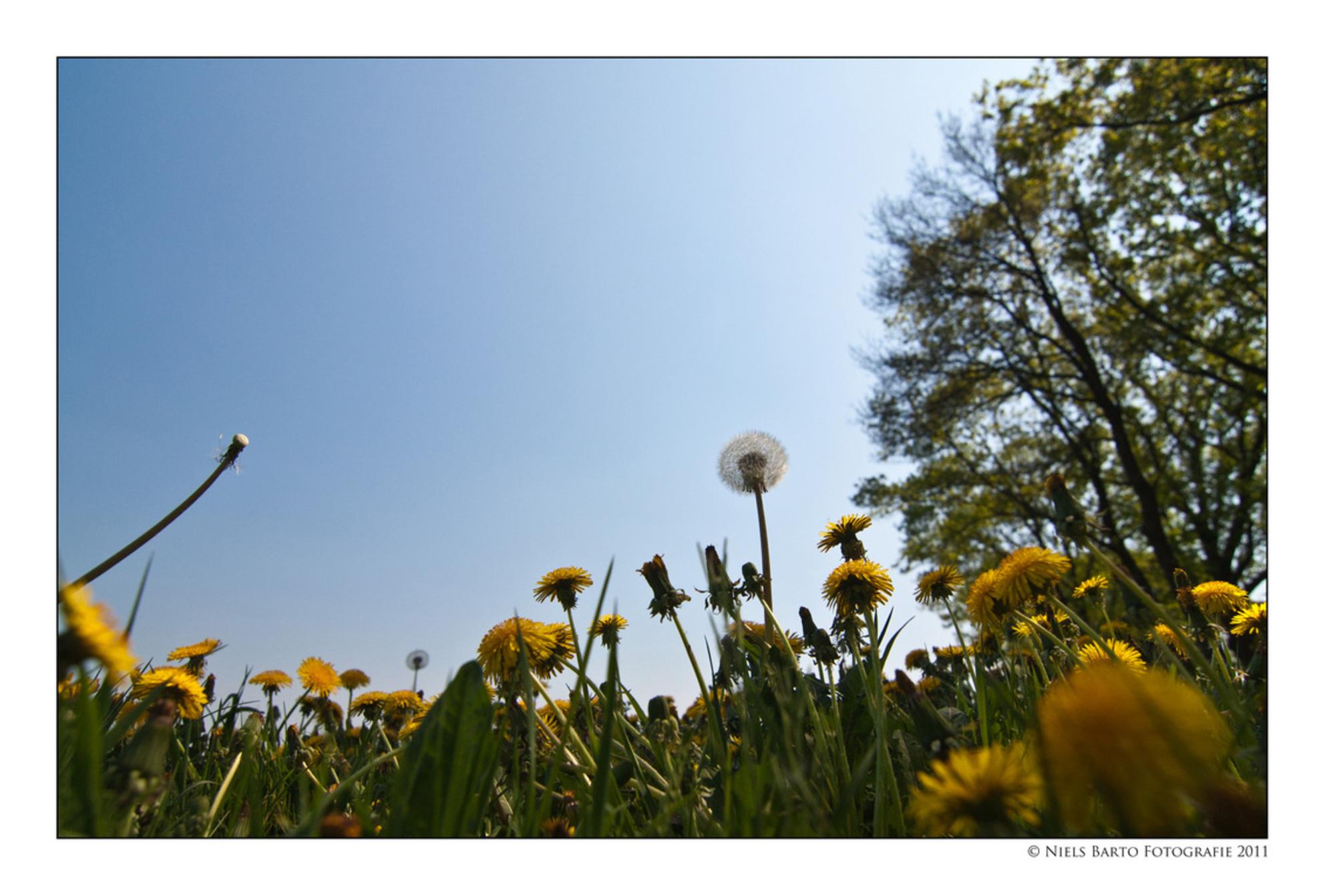 It's a small world... - Paardebloemen in het veld. Ik plat op mijn buik om eronder te komen... :-) - foto door GBP op 25-04-2011 - deze foto bevat: lente, voorjaar, paardebloemen - Deze foto mag gebruikt worden in een Zoom.nl publicatie
