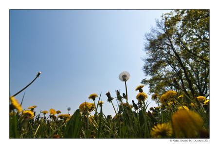 It's a small world... - Paardebloemen in het veld. Ik plat op mijn buik om eronder te komen... :-) - foto door GBP op 25-04-2011 - deze foto bevat: lente, voorjaar, paardebloemen