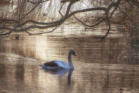 Jonkie - Een jonge zwaan die de koude winterweek van februari overleefd heeft.   Iedereen bedankt voor de fijne reacties en favos bij mijn vorige opname, er - foto door Dodsi op 10-03-2021 - deze foto bevat: water, natuur, vogel, zwaan, watervogel