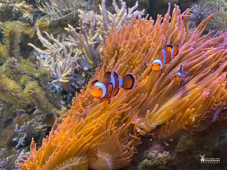Vlinders aan de Vliet - De clownvis, een vissoort die in koraalriffen leeft en sinds 2003 vooral bekend is van de film Finding Nemo.   Deze zijn gefotografeerd in de vlind - foto door amsterdamned_zoom op 20-10-2020 - deze foto bevat: vis, holland, nederland, leidschendam, amsterdamned, clownvis, vlinders aan de vliet, Zuid Holland, annemoonvis