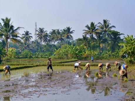 Rijstvelden op Java