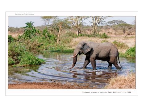 Elephant Serengeti NP III