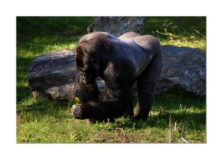 Lieve Gorilla 2