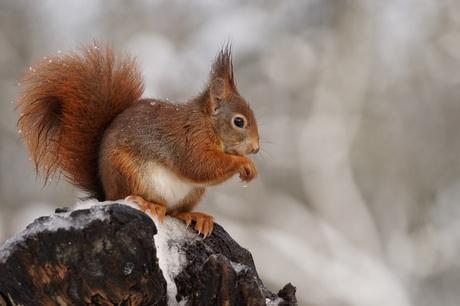 Nog een eekhoorn