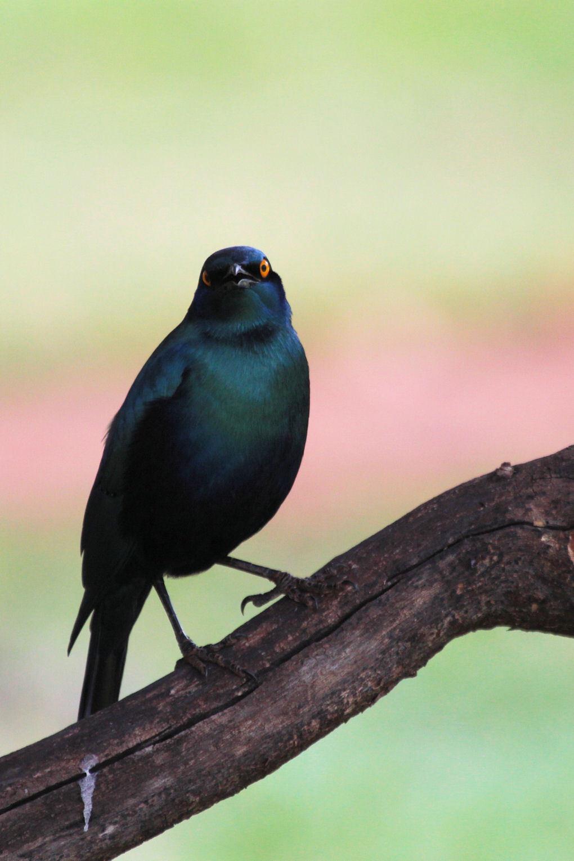 Greater Blue-eared Starling - Telkens als er een rustmoment was tussen de ochtend- en middag gamedrive ging ik op pad op het terrein rond de lodge om vogels te fotograferen, terwi - foto door dunawaye op 10-10-2010 - deze foto bevat: vogels, safari, kenia, kenya, starling, Tsavo National Park West, Tsavo West, Greater Blue-eared Starling