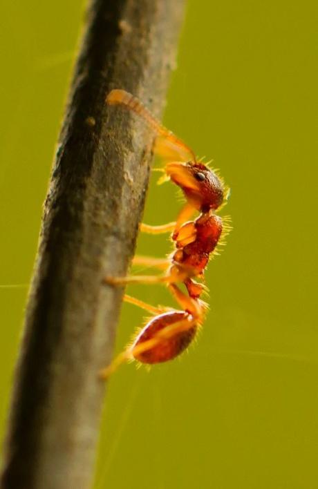 Ant vs. iron