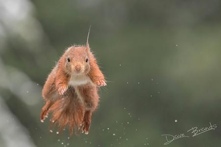 Eekhoorn 1 - Wat zijn eekhoorns toch leuke dieren. Het is geweldig om ze iedere keer weer bezig te zien om nootjes te verzamelen. - foto door daveenrenee op 27-02-2020 - deze foto bevat: donker, natuur, sneeuw, eekhoorn, wild, brabant, wildlife