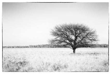Eenzame boom in B/W