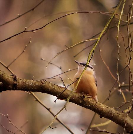 Boomklever - Boomklevertje , deze keer niet tegen een boom maar  op een tak. Had maar één kans , toen was ie weer verdwenen. - foto door hanshoeben51 op 04-03-2021