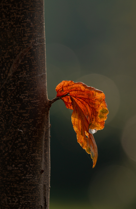 When the last leaf falls .......