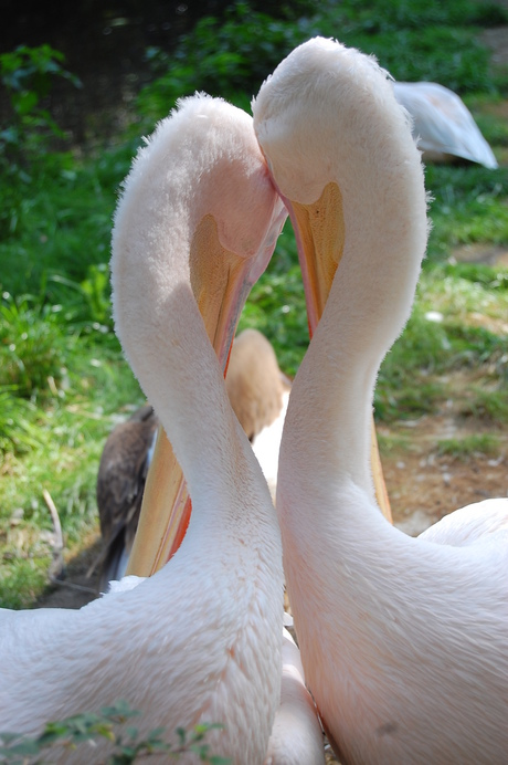 Verliefde vogels