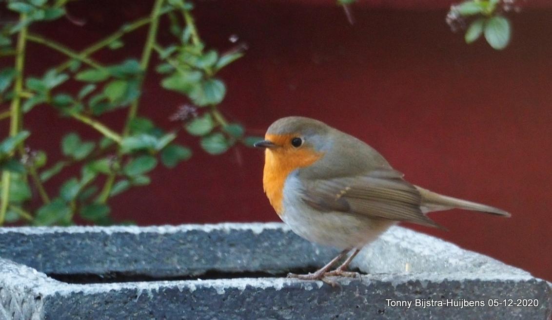 gast in de achtertuin - het roodborstje is een vogeltje dat dagelijks bij ons in de achtertuin te vinden is. het vogeltje komt eten,drinken en badderen! groetjes en een fij - foto door Tonny1946 op 06-12-2020 - deze foto bevat: herfst, roodborstje, vogel, nieuwegein, achtertuin, muurtje, oranje/rood, lichtgrijs, december 2020, grijs/bruin