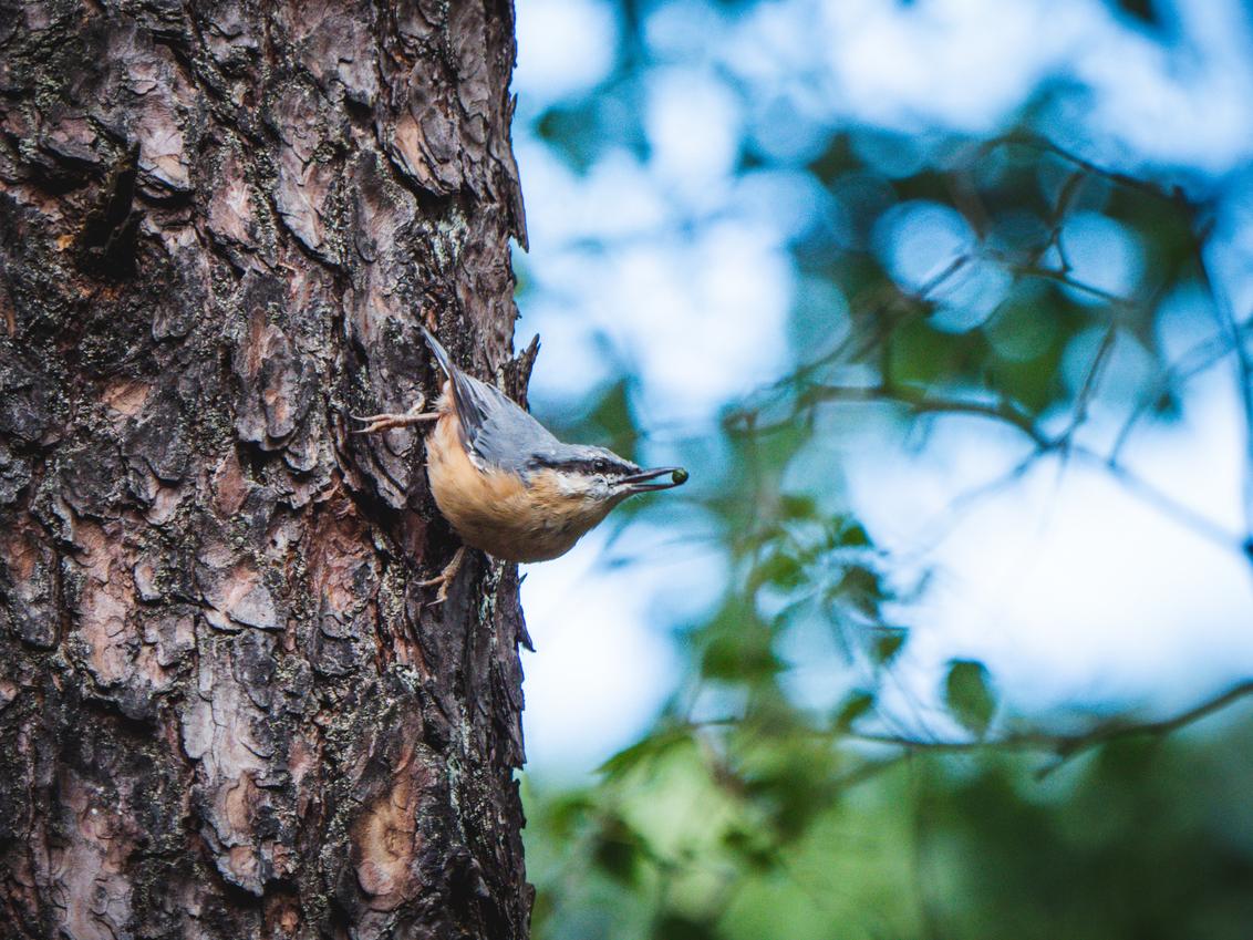 Boomklever - - - foto door Jaspervdvos op 21-10-2020 - deze foto bevat: zon, boom, vakantie, dieren, vogel, bos, zomer, hoge veluwe