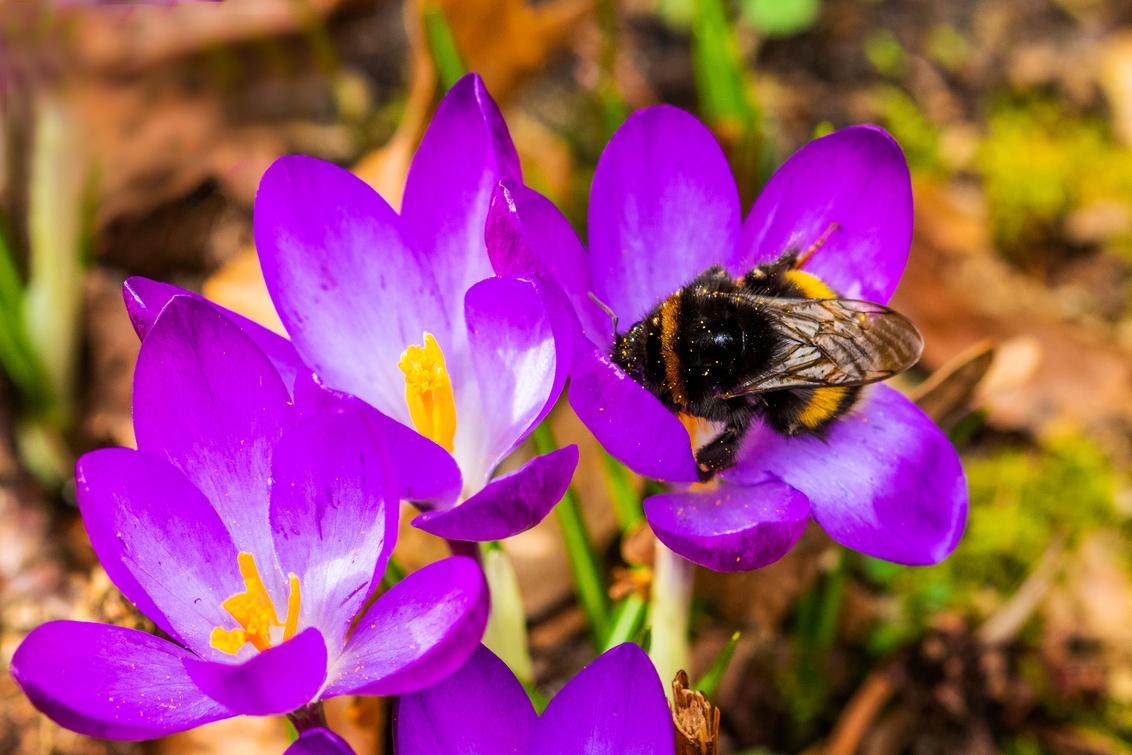 Hommel aan het werk - Krocussen zijn open en de hommels kunnen weer aan het werk. Voorjaar! - foto door WillemH52 op 26-02-2021 - deze foto bevat: paars, macro, hommel, bloem, lente, tuin