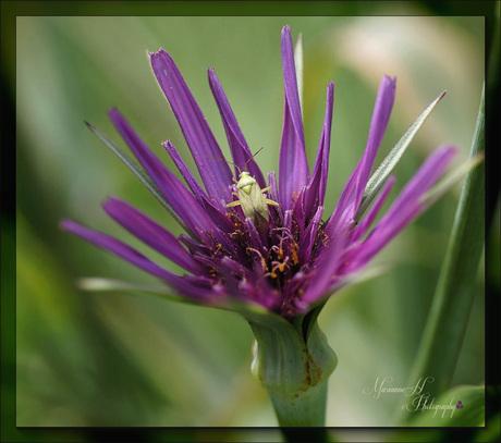 Wantsje op Paarse morgen ster(Tragopogon porrifolius L)