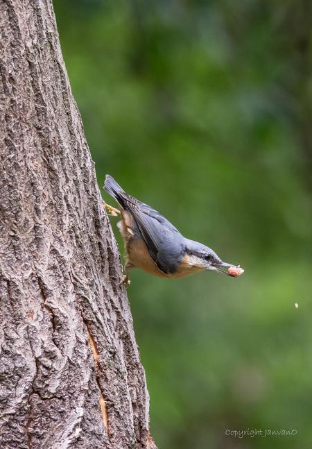 Boomklever 2 - - - foto door JanvanO op 03-08-2019 - deze foto bevat: vogel, boomklever, heeze, janvano, Strabrechtse heide, zuiko 300mm, olympus omd-em1