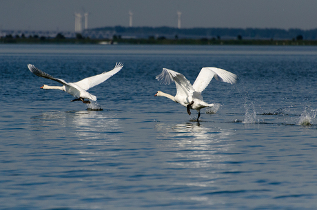 Zwanen opstijgend vanuit het water
