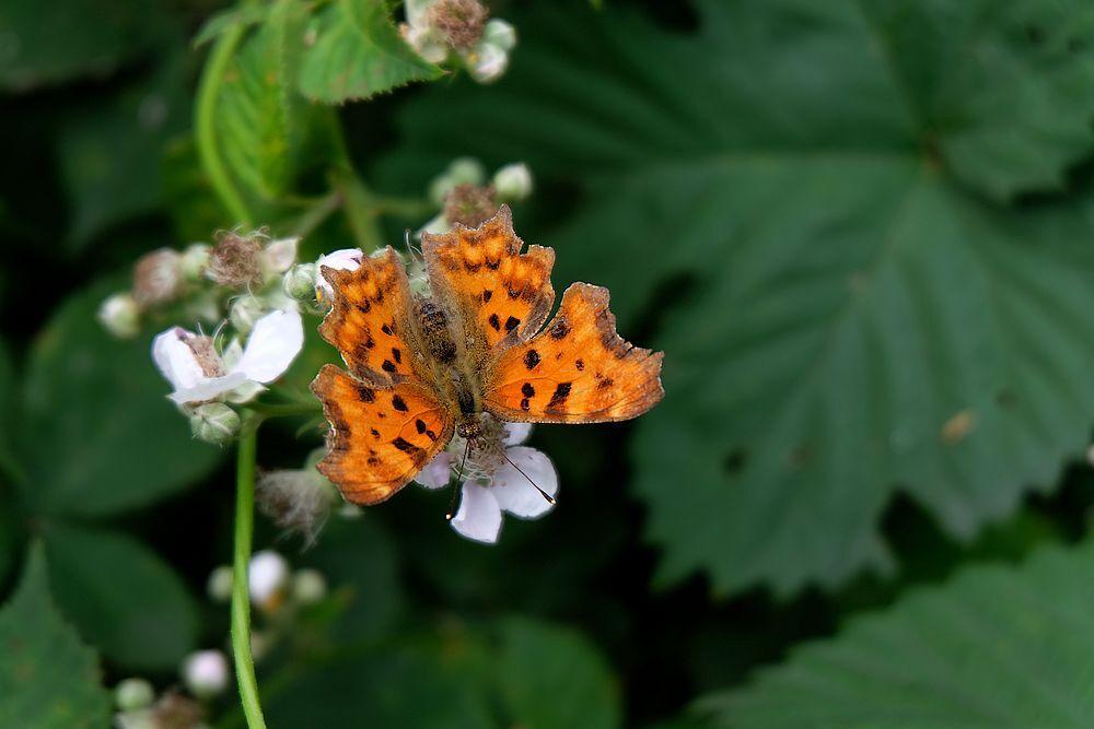 Gehakkelde Aurelia............... - In De Wieden gefotografeerd.. Allen bedankt voor jullie fijne reactie,s op de Roos...  gr jenny.. - foto door jenny42 op 24-07-2017 - deze foto bevat: groen, wit, bloem, natuur, vlinder, oranje, blad, dieren, ogen, antenne, tong., zwartbruin