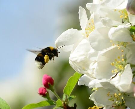 Paasbrunch - Een hommel vliegt op een bloem af.Leuk detail, de klompjes stuifmeel aan zijn poten. - foto door FocusV op 12-04-2020 - deze foto bevat: hommel, bloem, lente, natuur, tuin, voorjaar, insect, nederland