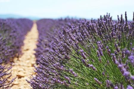 Franse lavendel velden - Afgelopen zomer in Frankrijk gemaakt. - foto door selma_hamzic42 op 13-10-2014 - deze foto bevat: groen, paars, bloem, natuur, vakantie, frankrijk, canon, lavendel