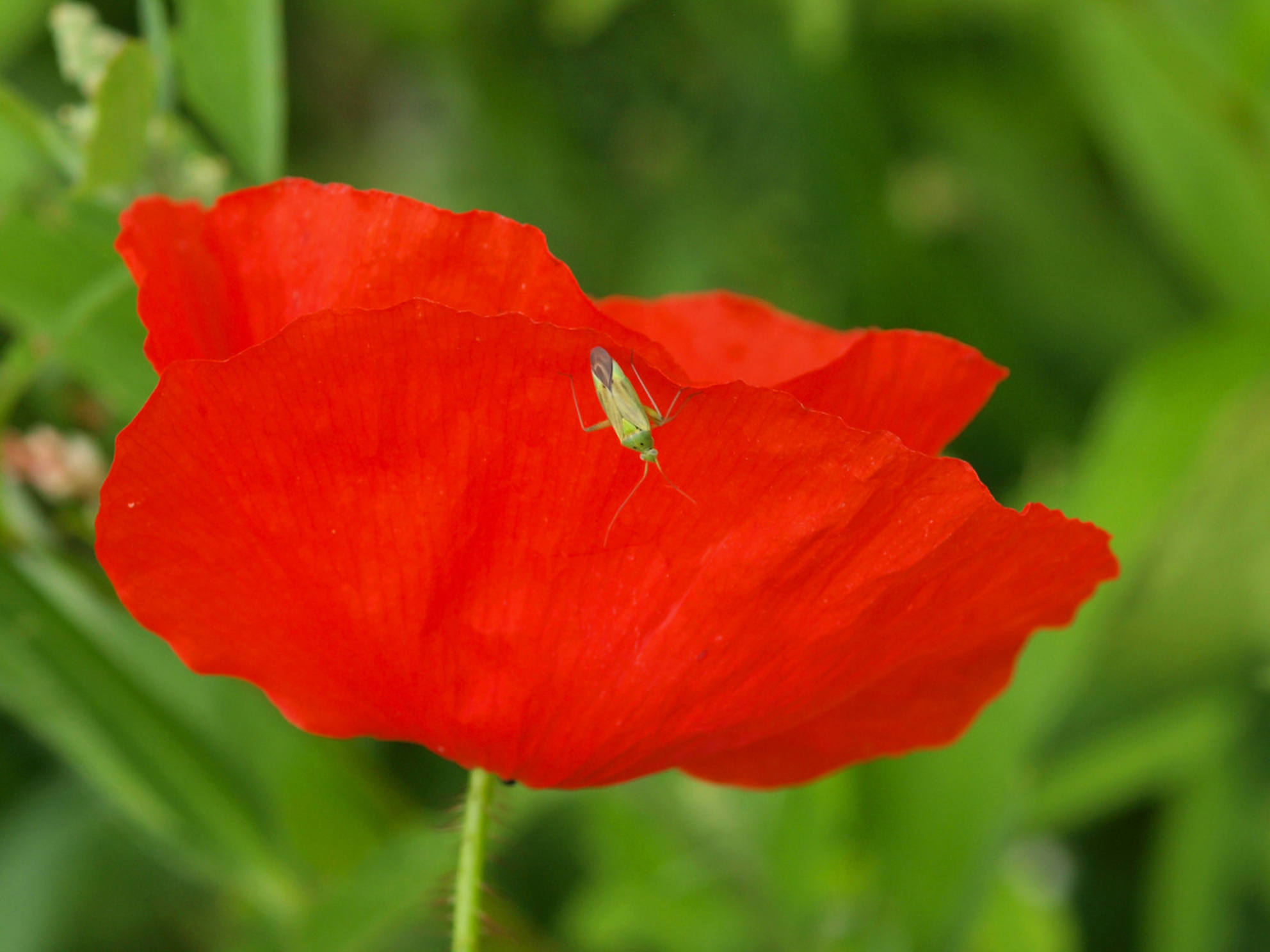 Klaproos - Heb een mooi plekje met veldbloemen gevonden met o.a. klaprozen,korenbloemen - foto door pomp op 11-07-2013 - deze foto bevat: rood, bloem, natuur, papaver, klaproos, olympus, e3, 105mm - Deze foto mag gebruikt worden in een Zoom.nl publicatie