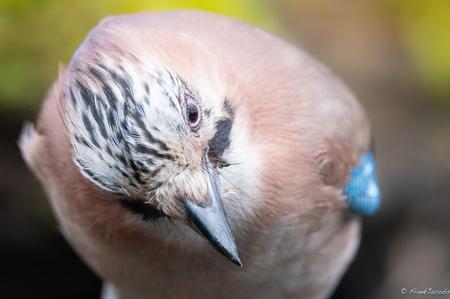 U zei????? - - - foto door frankjacobs op 10-04-2018 - deze foto bevat: blauw, natuur, vogel, nikon, gaai, rucphen, Vlaamse Gaai, frank jacobs