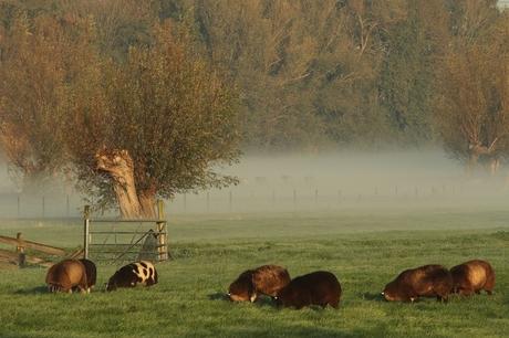 schaapjes in de mist 2429