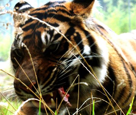 Joya1 - Rrraaaww! - Tijger - foto door joylanda op 29-10-2010 - deze foto bevat: tijger