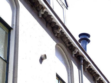 Zwaluw nesten