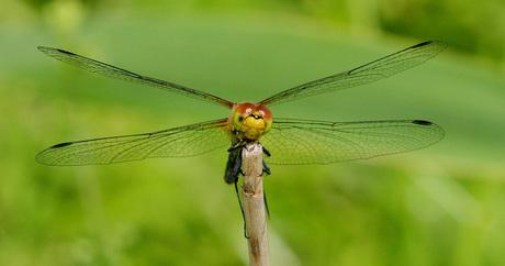 een verse steenrode heidelibel