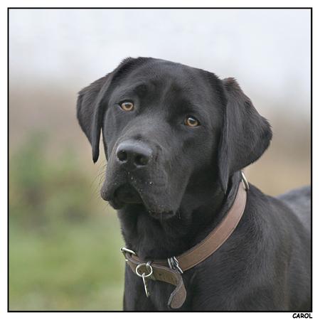 Abita - Abita is 2 maanden geleden bij ons komen wonen. Ze is een moederhond voor de KNGF geleidehonden. In het voorjaar wordt haar eerste nestje verwacht. H - foto door Booster op 28-11-2009 - deze foto bevat: hond