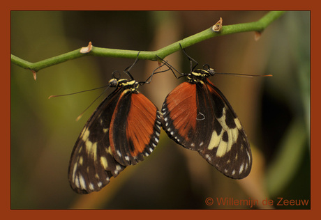 Passiebloemvlinders