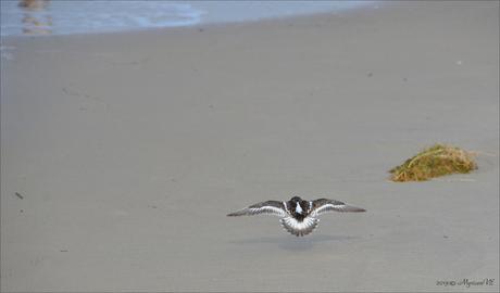 Wegvliegende Steenloper