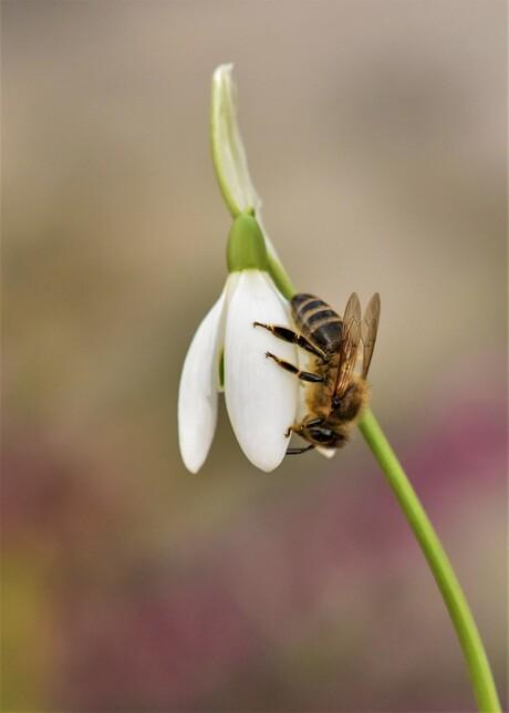 Honingbij op sneeuwklokje.....