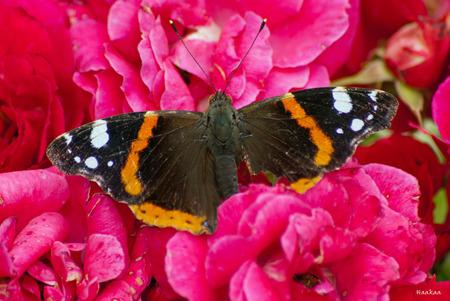 Nog even...... - en deze atalanta heeft het loodje gelegd. Hij ziet er tenminste al erg verfrommeld en beschadigd uit. Zo langzamerhand prima geschikt dus voor de gr - foto door haakaa op 20-07-2012 - deze foto bevat: oud, macro, bloem, vlinder, roos, atalanta, vergankelijk