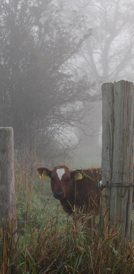 kalf in mist