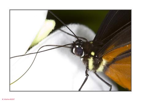 Vlinder in bonus
