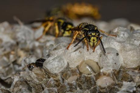 werkster met haar larve